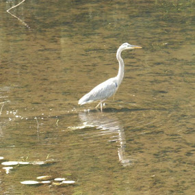 Great Blue Heron by Jessie Dautrich - Animals Birds ( water, bird, beautiful, heron, animal,  )