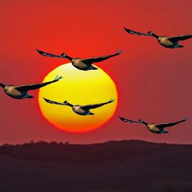 DSC_2061Fleck Sunset Goose.jpg
