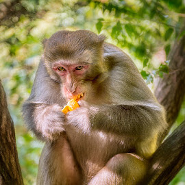 Breakfast by Indrawaty Arifin - Animals Other Mammals ( sitting, tree, breakfast, eat, monkey )