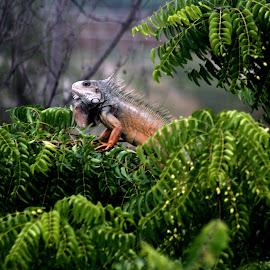 Just Hanging Around by Tina Rettka - Animals Reptiles ( iguana, tree, reptile, ecuador, canon )