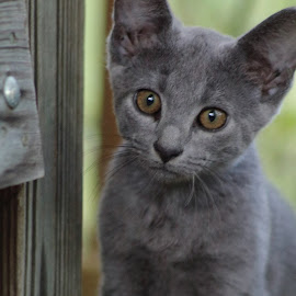 A liitle visitor at mom's this morning. If anyone is interested in adopting him, I'd be glad to try and catch him for you. by Sarah Thomas - Animals - Cats Kittens