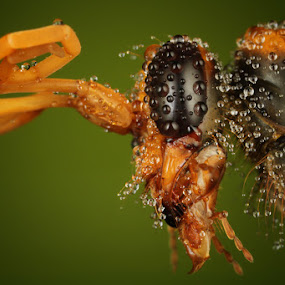 i have much dews by Roem Hasadi - Animals Insects & Spiders ( bee, indonesia, insect, batam, extreme. macro )