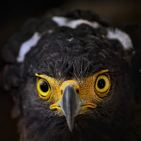Crowned eagle by Paulus Tino - Animals Birds