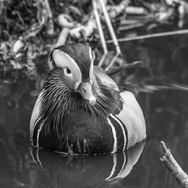 Mandarin by Garry Chisholm - Black & White Animals ( mandarin, nature, duck, bird, water, garry chisholm )