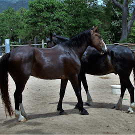 Clyde And Dale by Sarah Harding - Novices Only Pets ( horses, outdoors, pets, novices only, animal )