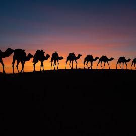 Caravan by Zencenco Cristian - Landscapes Sunsets & Sunrises ( caravan, silhouettes, sunrice, dessert )
