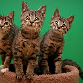 Curious Trio by Ranee Rose - Animals - Cats Kittens ( cats, green, kittens, tabby )
