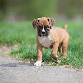 Puppy Breath! by Tara Chumsae - Animals - Dogs Puppies ( animals, dogs, boxer, boxers, cute, love, puppies, sweet, pet, pets, puppy, adorable, fawn, dog, animal )
