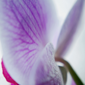 Floral studies (orchid) by Bethany Fuller - Abstract Macro ( abstract, detail, floral photography, pink orchid, macro photography )