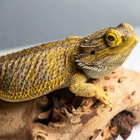 by Cheryl Larsen - Animals Reptiles