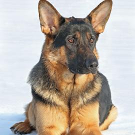 Best friend by Mia Ikonen - Animals - Dogs Portraits ( loyal, beautiful, finland, german shepherd, friend )