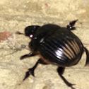 Carolina Dung Beetle
