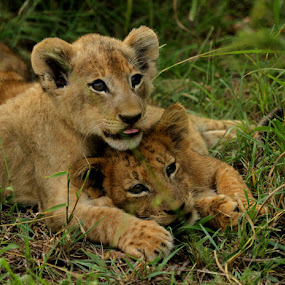 Me and my brother by George Watson - Animals Lions, Tigers & Big Cats