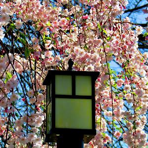 Cherry Blossoms IMG_7681.jpg