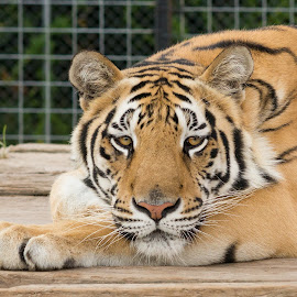 Gabby the Young Tigress by Brian Hochmuth - Animals Lions, Tigers & Big Cats ( carnivore, big cats, tiger, tigers )