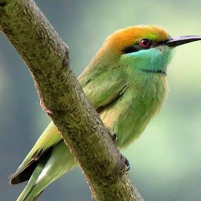 Green bee eater by Mainak Adak - Animals Birds ( green bee eater, natureza, wildlife, close up, bird photography )