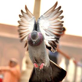 indian by Pratish Kumar - Animals Birds