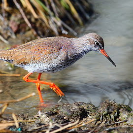 Common redshanks in breeding plumage by Gérard CHATENET - Animals Birds