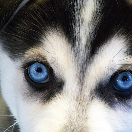 Windows to the Soul by Michelle Ubriaco - Animals - Dogs Puppies ( dogs, siberian husky, pets, blue eyes, husky, puppy,  )