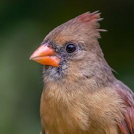 Female Northern Cardinal by Shutter Bay Photography - Animals Birds ( female northern cardinal, nature, bird photography, birds, birding,  )
