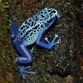 Dendrobates tinctorius Azureus by Gérard CHATENET - Animals Amphibians (  )
