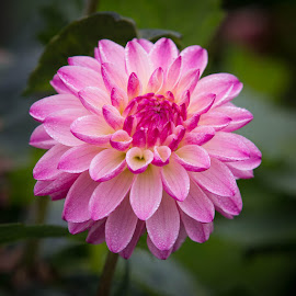With Dew by Janet Marsh - Flowers Single Flower ( dahlia, dew )