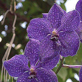 Blue Orchids by Anita Frazer - Flowers Flower Gardens ( spotted, blue, orchids, flowers,  )