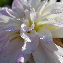 Dahlia by Serge Ostrogradsky - Flowers Single Flower