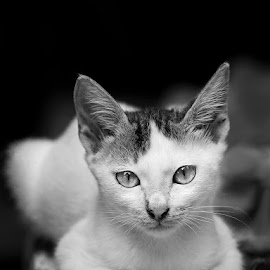 Katy by IamPercy . - Animals - Cats Kittens