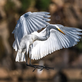 Great Egret Landing by Mike Watts - Animals Birds ( bird, high rock lake, great egret )