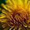 Dandelion 1.jpg