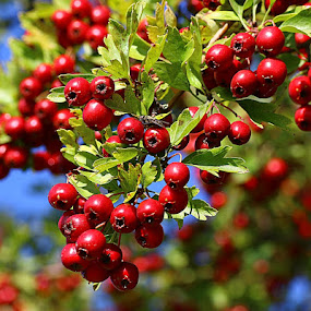 Loads of Berries by Chrissie Barrow - Nature Up Close Other Natural Objects ( red, nature, green, hawthorn, bush, leaves, bokeh, closeup, berries,  )