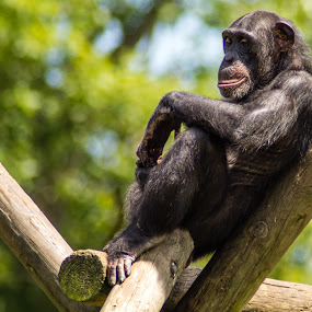 Chimpanzee by Andy Goo - Novices Only Wildlife ( chimpanzee, captivity, thinking, bored, fur, brown, hair, black, chimp, animal, eyes, human )