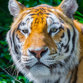 Beauty and Wild by Lajos E - Animals Lions, Tigers & Big Cats ( look, big cat, tiger, green, altaica, panthera, siberian, leaves, dangerous, portrait, tigris, eyes, bush, amur, head,  )