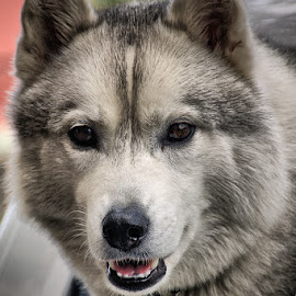 by Ray Ebersole - Animals - Dogs Portraits ( vacation, june, wa, settle, dog, posr angeles, mammal )
