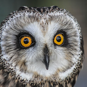 Otis by Garry Chisholm - Animals Birds ( bird, owl,  )