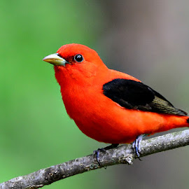 Scarlet Tanninger by Ruth Overmyer - Animals Birds (  )