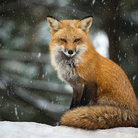 by Pascal Laramée - Uncategorized All Uncategorized ( renard roux red fox vulpes, fox )