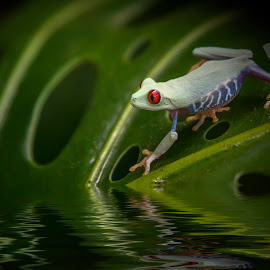 Maki frog by Egon Zitter - Digital Art Animals ( water, frog, tropical, dark, amphibian, leaf, makifrog, animal )