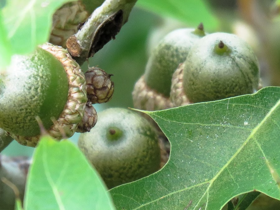 Acorns in tree by Scott Thomas - Nature Up Close Other Natural Objects ( #acorns, #landscape, ##nature, #tree, #summer )