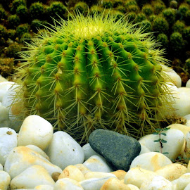 Cactii by Asif Bora - Nature Up Close Other plants