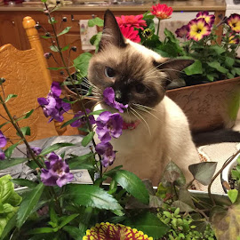 Chloe by Kendra Perry Koski - Animals - Cats Kittens ( siamese cat, flowers, cat,  )