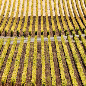Napa Symmetry by Frederic Rivollier - Landscapes Prairies, Meadows & Fields ( nature, yellow, winery, napa, row )