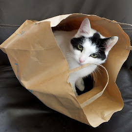 Cat in a Bag by Ann Seedhouse - Animals - Cats Playing ( cat, pet, bag, feline, tj )