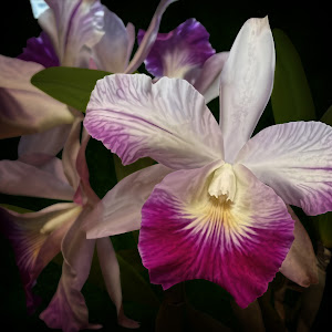 Magenta and White Orchid 2.jpg
