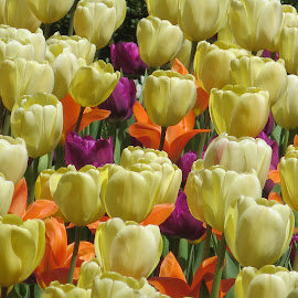 April Tulips by Marcia Taylor - Novices Only Flowers & Plants (  )