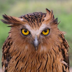 Birds eye by Ngatmow Prawierow - Animals Birds ( animals, owl, birds, bird photography, eyes )