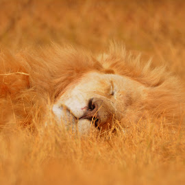 The sleeping king of the jungle by Melody Pieterse - Animals Lions, Tigers & Big Cats (  )