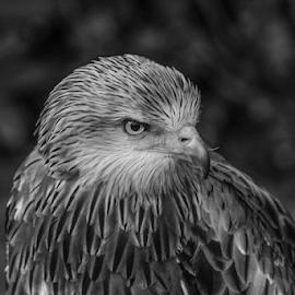 Kite by Garry Chisholm - Black & White Animals ( raptor, bird of prey, nature, kite, garry chisholm )