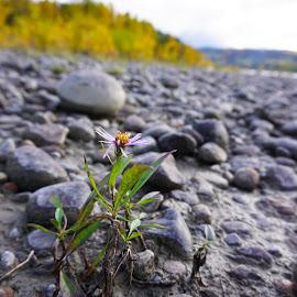 Flower on a rocky beach by Erica Lahoda - Flowers Flowers in the Wild ( barren, rocky, rock, beach, flower )